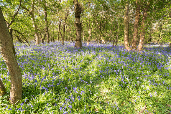 13th April 2017: Bluebells in Lady's Wood near Upwood